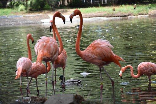 Flamingos, Birds, Pink, Zoo
