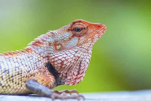 Iguana, Lizard, Chameleon, Reptile, Dragon, Animal