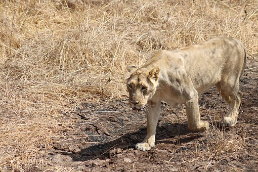 Asiatic Lion, Lion, Feline, Cat, Young