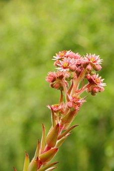 Blossom, Bloom, Flower, Houseleek, Sempervivum