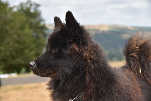 Dog, Bitch, Eurasier Ploublue, Female Eurasier