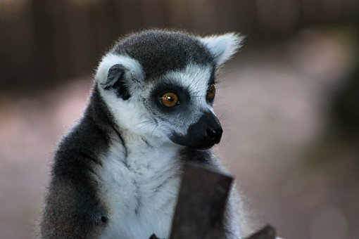 Lemur, Mammal, Animal, Eyes, Surprised, Alert, Fur