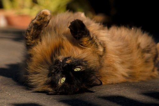 Cat, Feline, Kitty, Kitten, Paws, Pet, Domestic, Brown