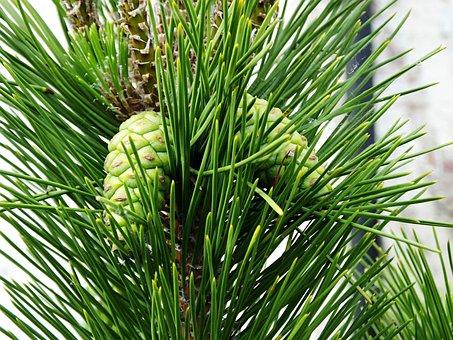 Cones, Pine, Green, Immature, New, Fir Tree, Conifer