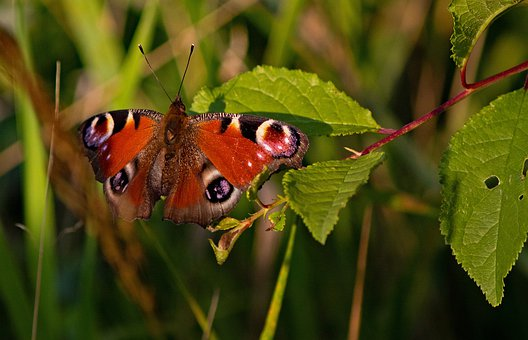 Butterfly, Peacock, Wings, Eyes, Aglais Io, Colorful