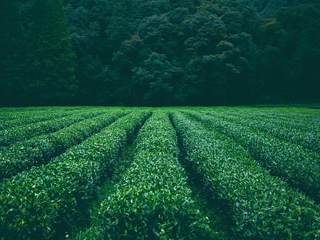 Field, Plantation, Tea, Chamomile, Leaves, Foliage