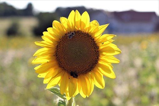 Sun Flower Hummel, Summer, Yellow, Blossom, Bloom