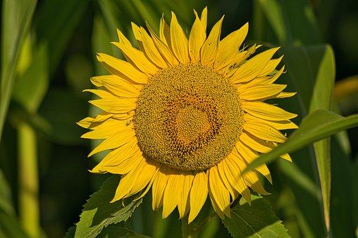 Sun Flower, Landscape, Yellow, Summer, Hallertau