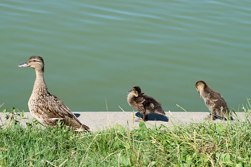 The Duck, Birds, Plumage, The Border, Lake, Water