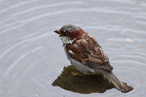Bird, Sparrow, Plumage, Beak, Feathers, Water