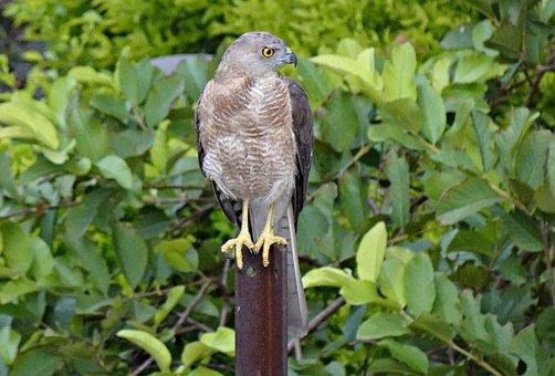 Bird, Beak, Feathers, Raptor, Male, Accipiter Badius
