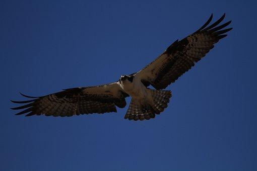 Bird, Hawk, Raptor, Wings, Feathers, Sky, Nature