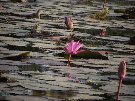 Lotus, Pond, Flower, Nature, Blossom, Pink, Bloom