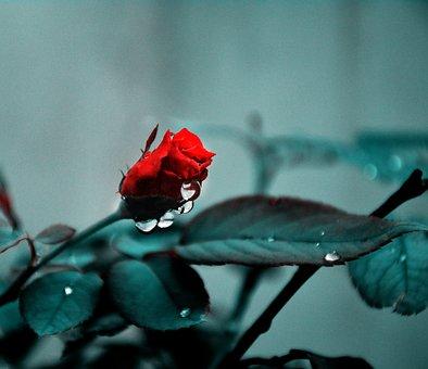 Rose, Flower, Bud, Dew, Drops, Bloom, Blossom, Nature