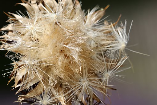 Milk Thistle, Thistle, Faded, Dry, Flying Seeds, Seeds