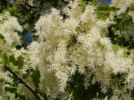 Flowers, Tree, Bush, Leaves, Silver, Fallopia