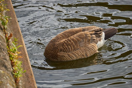 Goose, Bird, Waterfowl, Feathers, Canadian, Eating