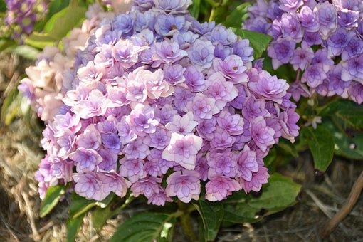 Petals, Flower, Plant, Flower Hydrangeas, Nature