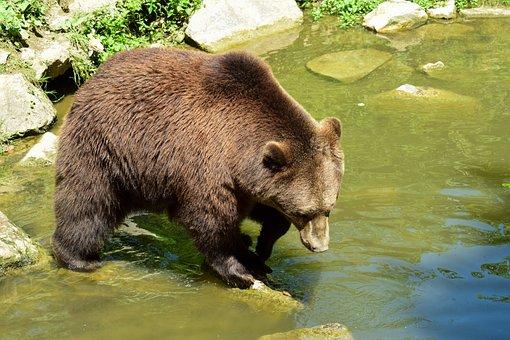 Bear, Brown Bear, Wild Animal, Water, Fur, Nature