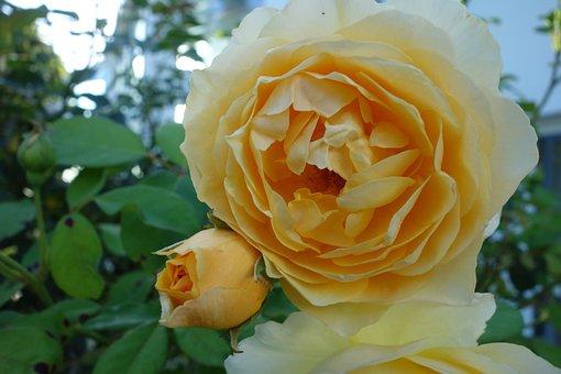 Roses, Rose Bloom, Blossom, Bloom, Nature, Flower