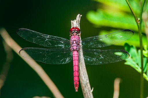 Dragonfly, Insect, Wings, Branch, Tree, Plant, Nature