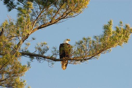 Eagle, Bald Eagle, Raptor, America, Predator, Majestic