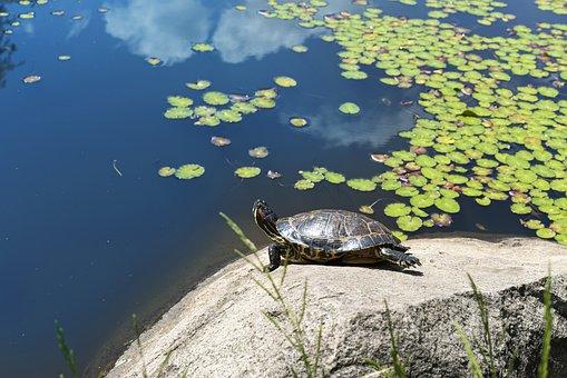Tortoise, Reptile, Animal, Shell, Nature, Water, Green