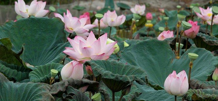 English Lotus, Flower, Pink, Green, Pond, Beautiful