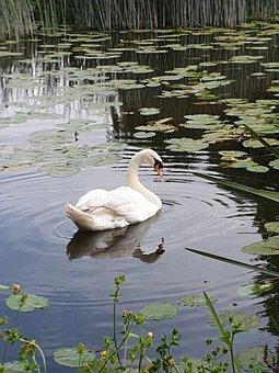 Swan, Bird, Feathers, Beak, White Swan, Nature, Water