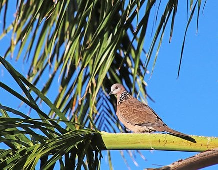 Bird, Turtle Dove, Perched, Wildlife, Palm Tree, Garden