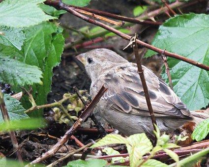 Sparrow, Bird, Brown, Plumage, Garden, Ground, Nature