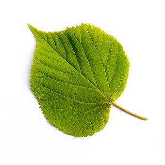 Leaf, Deciduous Tree, Tree, Leaves, Forest, Nature