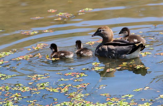 Birds, Ducks, Ducklings, Wildlife, Family, Swimming