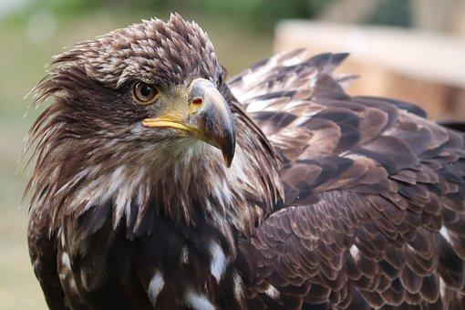 Golden Eagle, Eagle Head, Adler, Close Up, Portrait