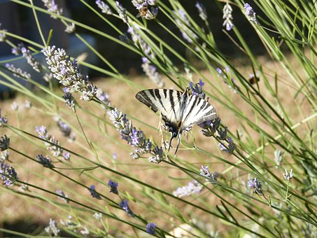 Butterfly, Swallowtail, Lavender, Garden, Insects