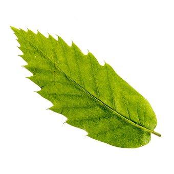 Leaf, Deciduous Tree, Tree, Leaves, Nature, Chestnut