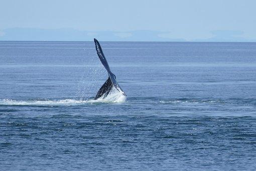 Whale, Canada, Sea, Ocean, Nature, Wildlife, Animal