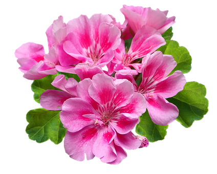 Flower, Pink, Geranium, Plant, Cut Out, Isolated