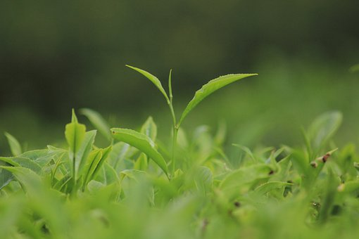 Leaves, Plantation, Plants, Herbs, Agriculture, Nature