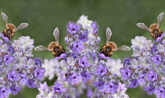 Insects, Bees, Pollen, Flowers, Lavender, Plants