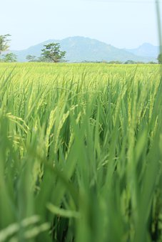 Rice, Field, Grain, Crop, Rye, Cereal, Rural, Nature