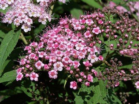 Japanese Meadowsweet, Spiraea Japonica, Díszcserje