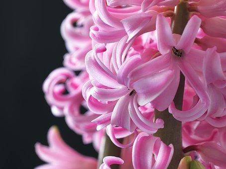 Flower, Hyacinth, Spring Flower