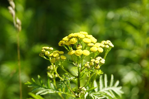 Tanacetum, Asteraceae, Tansy, Yellow, Composites