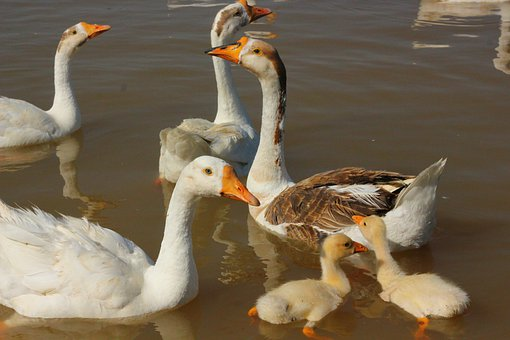 Duck, Ducklings, Water, Animal, Bird, Family, Goose