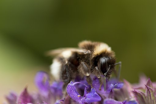 Hummel, Acker Hummel, Insect, Nature, Close Up, Animal