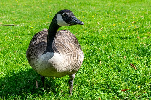 Goose, Bird, Beak, Plumage, Feathers, Avian, Grass