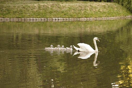 Swan, Ducklings, Birds, Lake, Pond, Swimming, Park