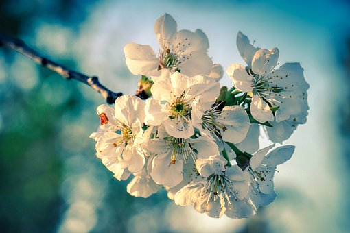 Apple Tree Blossom, Blossom, Bloom, Petals, Branch