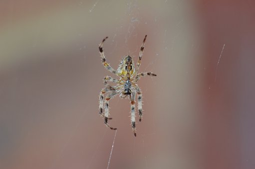 Spider, Animal, Arachnid, Insects, Bugs, Insect